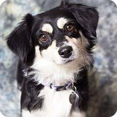 Gilbert, AZ - Dachshund/Spaniel (Unknown Type) Mix. Meet Charm, a dog for adoption. http://www.adoptapet.com/pet/12684542-gilbert-arizona-dachshund-mix