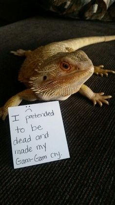 Bearded Dragon shaming