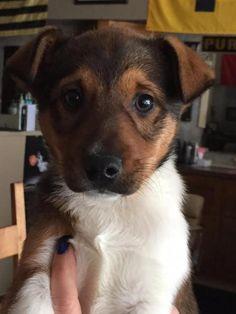 Dog ready for Adoption: HARVEY, an Australian Shepherd / Shetland ...