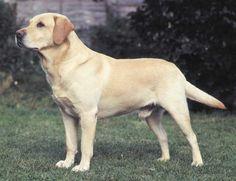 Labrador Retriever Dog                                                                                                                                                                                 More