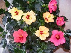 Hibiscus, Garden, Interiors, Plant, Garten, Lawn And Garden, Gardens, Gardening, Outdoor