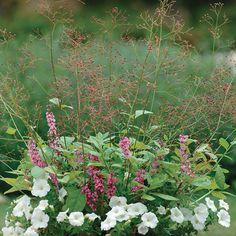 Talinum paniculatum (Fameflower, Jewels of Opar) - Fine Gardening Plant Guide