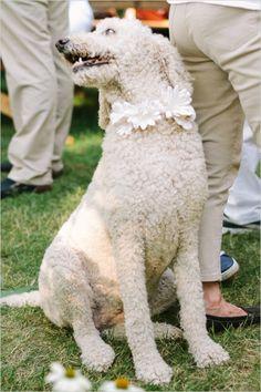 dog floral collar #weddingdog #outdoorwedding #weddingchicks http://www.weddingchicks.com/2014/01/06/weekend-wedding/