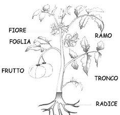 Le piante: struttura e parti di cui sono composte - ScuolaDelia