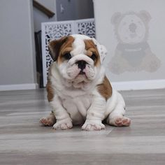 The major breeds of bulldogs are English bulldog, American bulldog, and French bulldog. The bulldog has a broad shoulder which matches with the head. Dog Paws, Pet Dogs, Doggies, Cute Puppies, Dogs And Puppies, Terrier Puppies, Corgi Puppies, Boston Terrier, Cute Baby Animals
