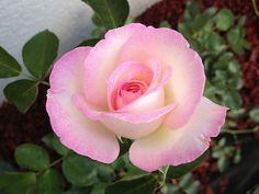 """Princess de Monaco"" Hybrid Tea Rose - White blending into soft pink edges"