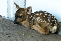 KSBW in California is reporting a fawn born on a Pacific Grove home's welcome mat. Talk about your mat-ernity ward.