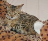 Bengal: Foothill Felines Macqui, a brown spotted female Bengal with loads of glitter.