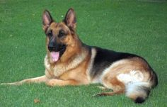 Learn about the different lines of the German Shepherd Dog... including the West German show lines.    http://www.examiner.com/article/the-different-gsd-bloodlines-west-german-show-lines