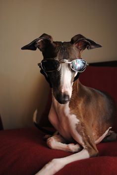 https://www.facebook.com/pages/Antonio-the-Italian-Greyhound/185309228165351