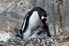 A Gentoo penguin with chicks, Port Lockroy, Antarctic Peninsula