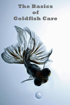 Caring for goldfish isnt all that different from caring for any other fish. A clean home with room to grow, meals delivered to their fro. Goldfish Care, Goldfish Bowl, Colorful Fish, Tropical Fish, Freshwater Aquarium, Aquarium Fish, All About Water, Pet Fish, African Cichlids
