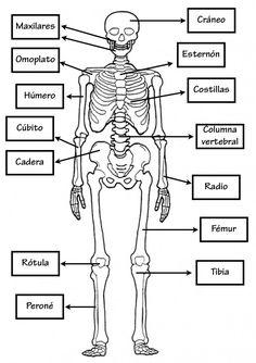 Human skeleton diagram human body unit pinterest human conocimientomedio02 ccuart Images