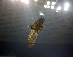 Le fameux aigle de l'OGC Nice