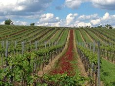 Wine yards in Stammersdorf Vienna, Science Nature, My Eyes, Yards, Vineyard, My Photos, Beautiful Pictures, Colorful, Wine