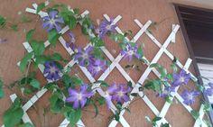 """Clematide """"Perle d'azur"""" in fiore"""