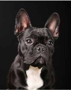 French Bulldog Puppies, French Bulldogs, Cute Puppies, Cute Dogs, French Dogs, Sweet Dogs, Bullen, Dog Paintings, Cool Pets