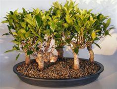 Ficus Midnight Bonsai Tree 5 Tree Group (Ficus Retusa)