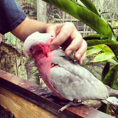 This Galah Cockatoo at the Brevard Zoo in Melbourne, FL loves a good neck massage. Got one from both my husband and I.