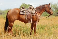 Red Roan Ranch Gelding for Sale - For more information click on the image or see ad # 45168 on www.RanchWorldAds.com