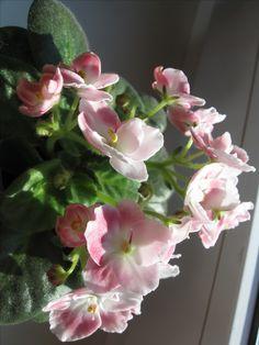 Macs Will-O-The-Wisp(полумини).Розетка цветёт впервые.Фото моё.