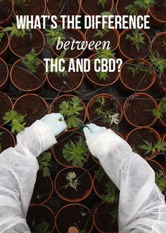 Explaining the difference between THC and CBD | MassRoots.com Thc Oil, Endocannabinoid System, Cbd Hemp Oil, Cancer Cure, Medicinal Herbs, Natural Healing, Medical Marijuana, Health And Fitness