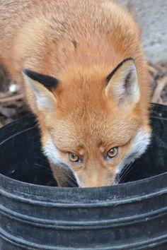 Pudding the fox 12/03/2015