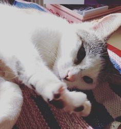#petme #now #sharumycat #instacats #instacool #instadaily #instamood #catsofinstagram #catsagram #catlover #cats #blue #eyes