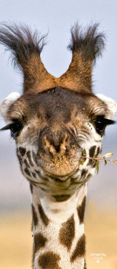 Africa | Close up of a giraffe, in Masai Mara National Reserve, Kenya