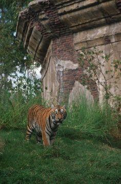 Maharajah Jungle Trek at Disney's Animal Kingdom  tami@goseemickey.com