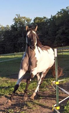 badger face horses   ... Face Markings POST AWAY!! at the Horse Chat forum - Horse Forums