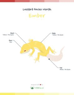 An Ember leopard gecko exhibits a yellow body and head, with a bright white tail and bright red eyes. The Ember morph was created by Garrick Demeyer of CrestedGecko.com by combining the Murphy Patternless and the RAPTOR recessive genes.