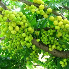 Otahiti Gooseberry, Phylanthus Acidus, Otaheite gooseberry, Malay gooseberry, Tahitian gooseberry, country gooseberry, star gooseberry, West India gooseberry, gooseberry tree, Cherry-meena, cherry meena
