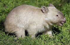 white wombat