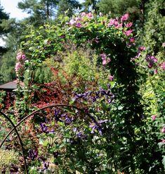 Harjateräksillä saa perennapenkkiin tai pensaiden joukkoon hauskoja kaarikasvustoja. Etummaisessa kaaressa kukkii loistokärhö 'Petit Faucon' ja takakaaressa 'Nikolai Rubtsov'.