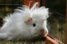 So adorable! <3 Guinea pig zone