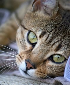 Egyptian Mau photos and wallpapers. Beautiful Egyptian Mau pictures