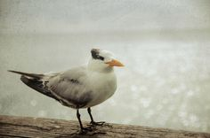 Gray Photograph Seaside Decor Seagull Wall Art by PureNaturePhotos