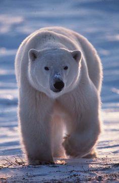 L'ours polaire s'est tellement armé contre le froid qu'un mâle qui marche à 7 km/h voit sa température interne monter à 39°C alors que la température ambiance ne dépasse pas - 25°C.