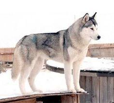 Gray Siberian Husky! // Alaska