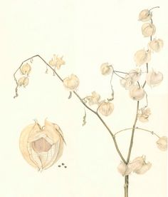 Dried Chinese Lanterns, Original Colored Pencil Drawing by Lore Ruttan. $525.00, via Etsy.