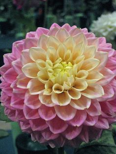 "Dahlia ""Sugartown Sunrise"""