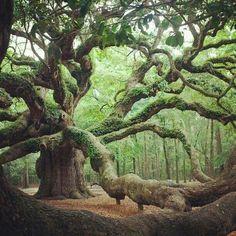 Angel Oak in Angel Oak Park,  John's Island, South Carolina