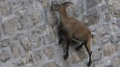 An Alpine ibex managing to perch on and lick salt off the nearly flat, nearly vertical face of northern Italy's Cingino Dam.