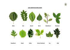 Oak Leaf Identification Chart
