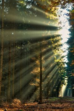 Druids Trees:  Sunlight streaming through the branches.