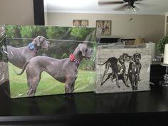 Blue Great Danes, Dogs, Animals, Animales, Animaux, Pet Dogs, Doggies, Animal, Animais