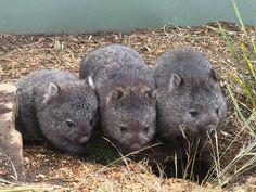 A wisdom of wombats Cute Wombat, Baby Wombat, Animals For Kids, Cute Baby Animals, Animals And Pets, Australia Animals, Baby Squirrel, Quokka, Animals Images