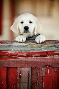 labrador pup!!!!!!!!!!
