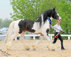 Chew Mill Guuinness  - Drum Stallion Height: 17.2 Color: Skewbald, Tobiano (Heterozygous for the Tobiano gene) Sire: Galway Warrior ( Drum Horse - Sire was Shire) Dam: Westhouses Bloosom ( Shire Horse )